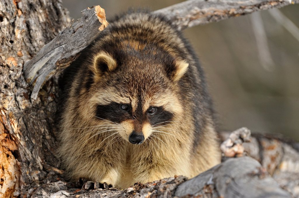 Stock Photo: 1566-1003667 Raccoon Procyon lotor, Bozeman, Montana, USA