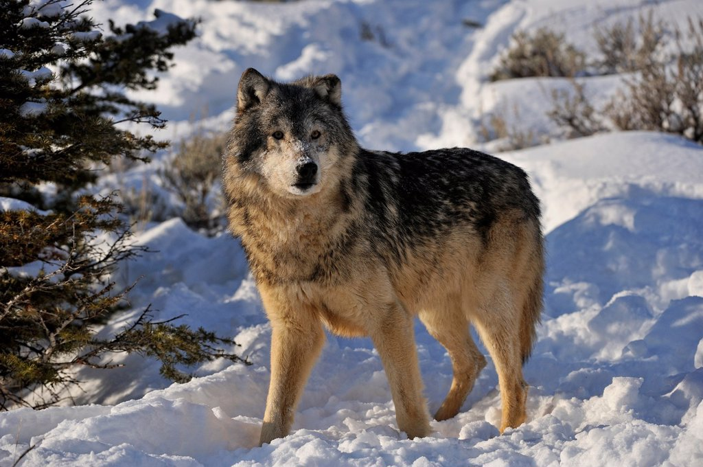 Grey Wolf Timber Wolf Canis lupus Winter habitat, Bozeman, Montana, USA : Stock Photo