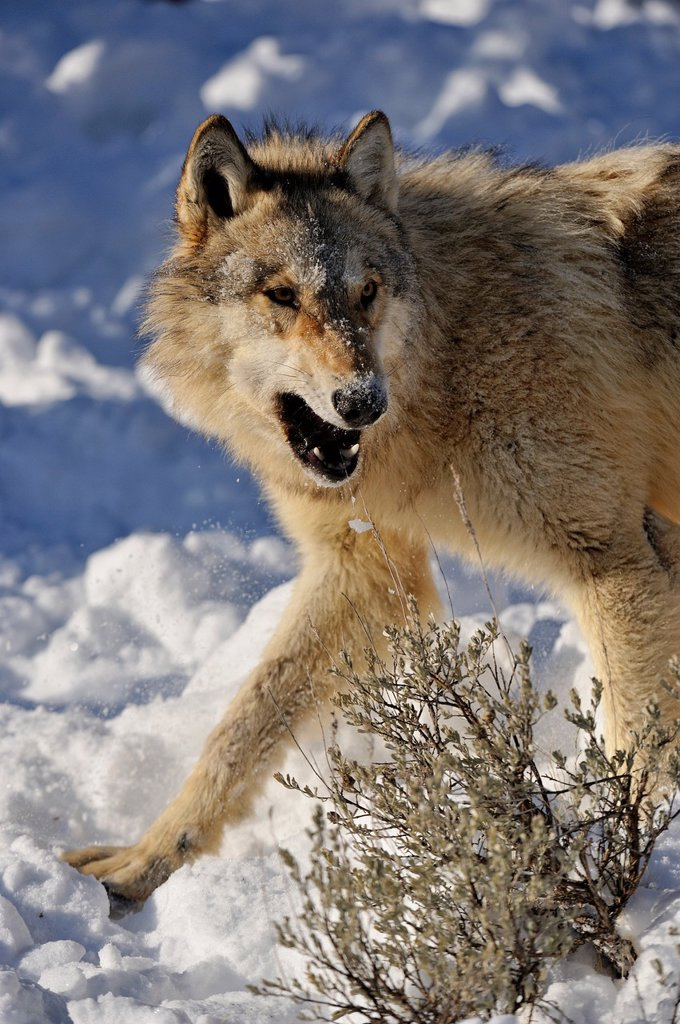Stock Photo: 1566-1003685 Grey Wolf Timber Wolf Canis lupus, Bozeman, Montana, USA