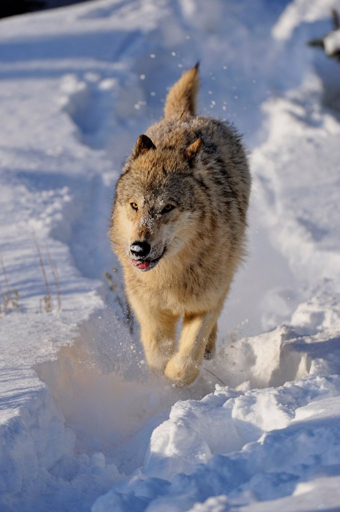 Stock Photo: 1566-1003687 Grey Wolf Timber Wolf Canis lupus Running down snowy hillside, Bozeman, Montana, USA