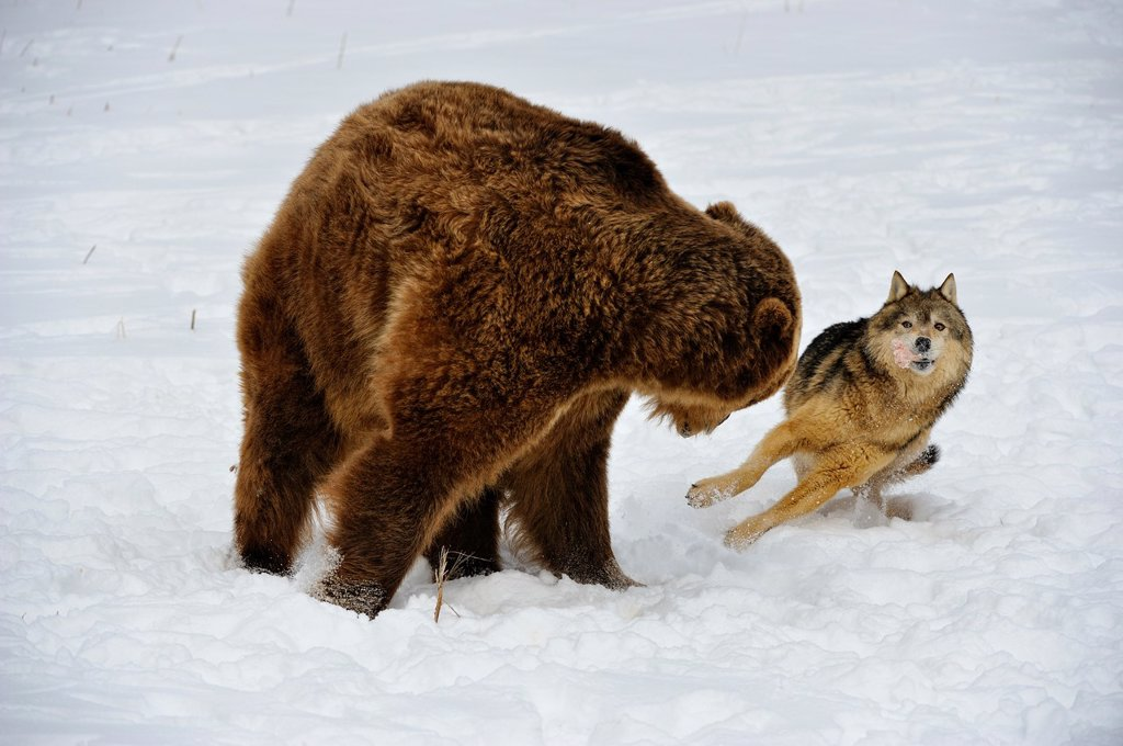 Stock Photo: 1566-1003711 Gray wolf Canis lupus interacting with Grizzly bear Ursus arctos over food scraps, Bozeman, Montana, USA