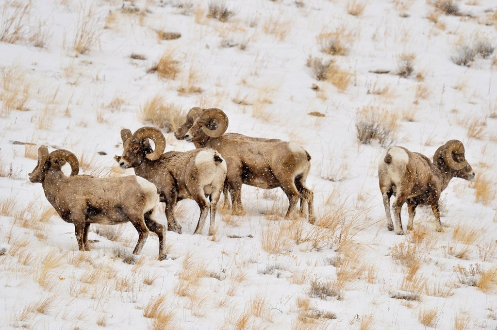 Stock Photo: 1566-1003725 Bighorn sheep Ovis Canadensis Rams in winter forage habitat, Yellowstone NP, Wyoming, USA