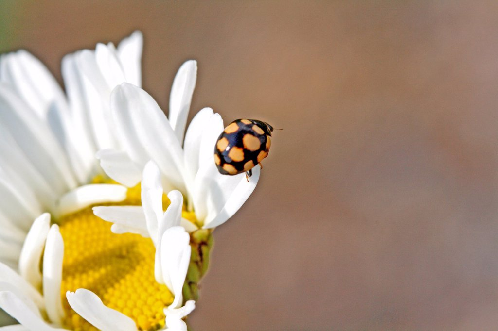Stock Photo: 1566-1004084 14-spot Ladybird, Coccinula quatuordecimpustulata on chamomille on Corn Chamomile, Anthemis arvensis  Small black ladybird with yellow or orange spots  Common plants fleabane and chamomille on sandy or clay soils  Significant predator for aphids on citrus. 14-spot Ladybird, Coccinula quatuordecimpustulata on chamomille on Corn Chamomile, Anthemis arvensis  Small black ladybird with yellow or orange spots  Common plants fleabane and chamomille on sandy or clay soils  Significant predator for aphi