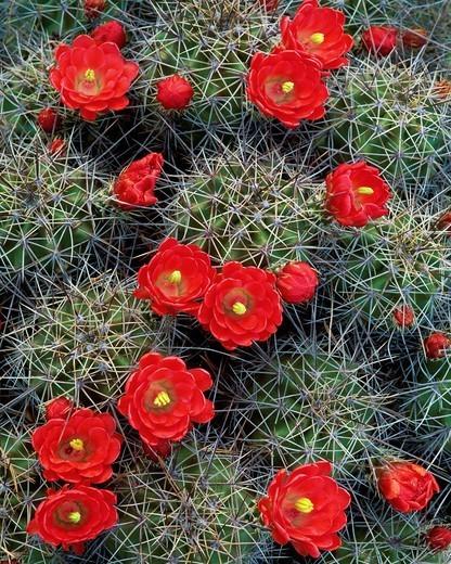 Claretcup hedgehog cactus Echinocereus coccineus Chisos Mountains Big Bend National Park, Texas : Stock Photo