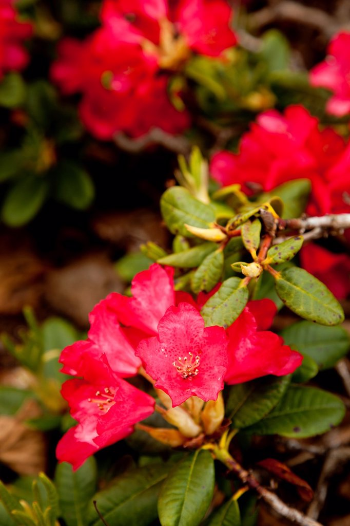 Variant of rhododendron brachycarpum Rhododendron Elviira Elvira, developed by Helsinki University and Mustila arboretum. Location Oulu Oulu University Botanical Garden Finland Scandinavia Europe. : Stock Photo
