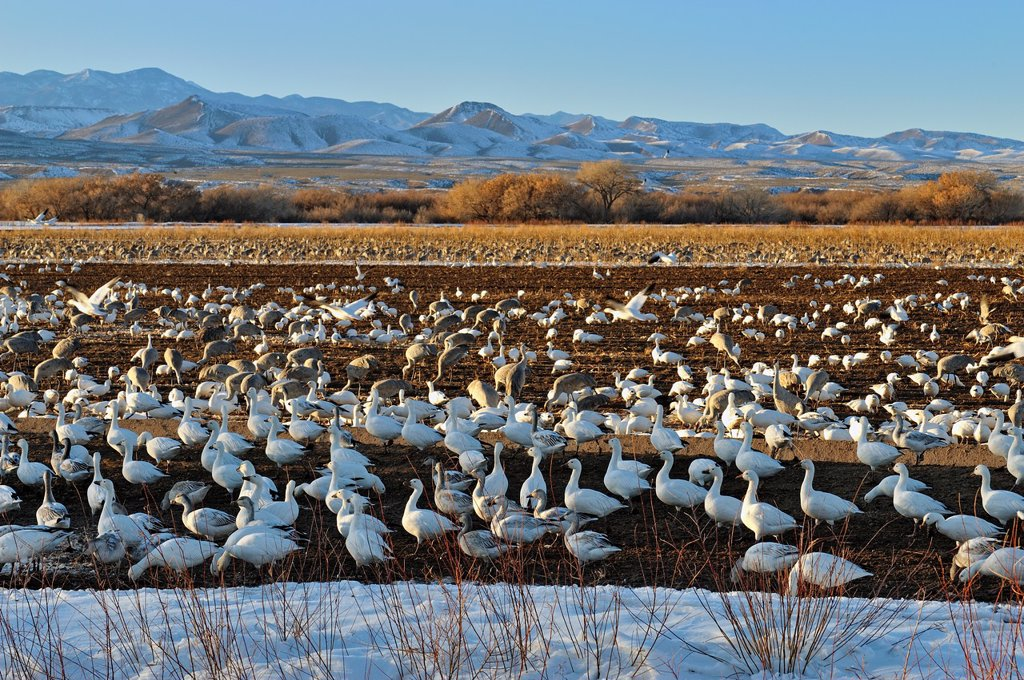 Snow Goose Chen caerulescens Flock congregating on refuge feeding grounds , Bosque del Apache NWR, New Mexico, USA : Stock Photo