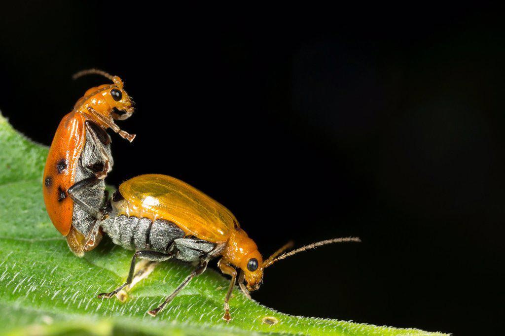 Beetles mating. Image taken at Kampung Skudup, Sarawak, Malaysia. : Stock Photo
