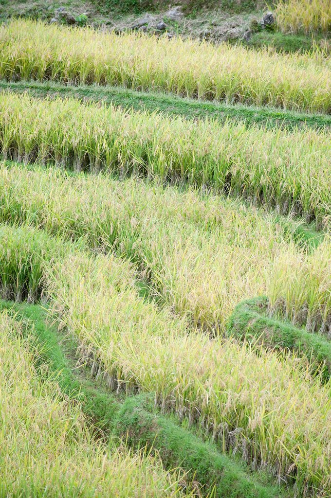 Stock Photo: 1566-1011018 rice terrace in tana toraja,celebes,sulawesi,indonesia