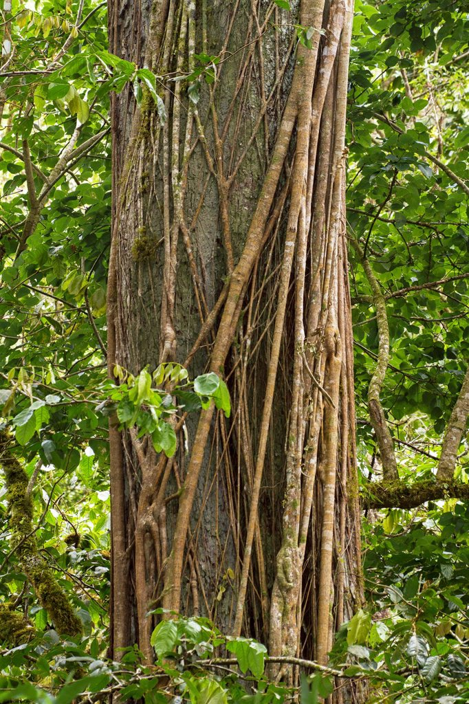 Vines wrap themselves around a tree in the Chiriqui Highlands, Panama : Stock Photo