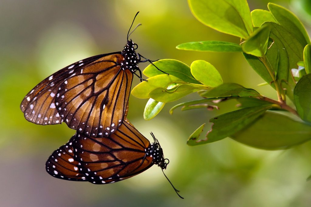 Stock Photo: 1566-1012211 Soldier Butterflies Mating - Green Cay Wetlands - Boynton Beach, Florida USA