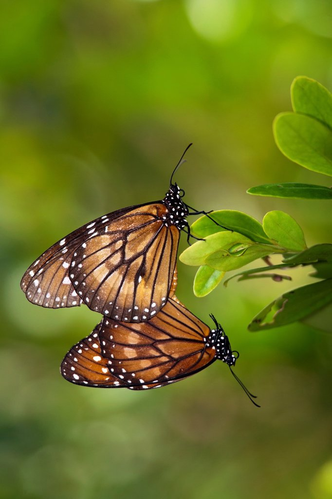 Stock Photo: 1566-1012212 Soldier Butterflies Mating - Green Cay Wetlands - Boynton Beach, Florida USA