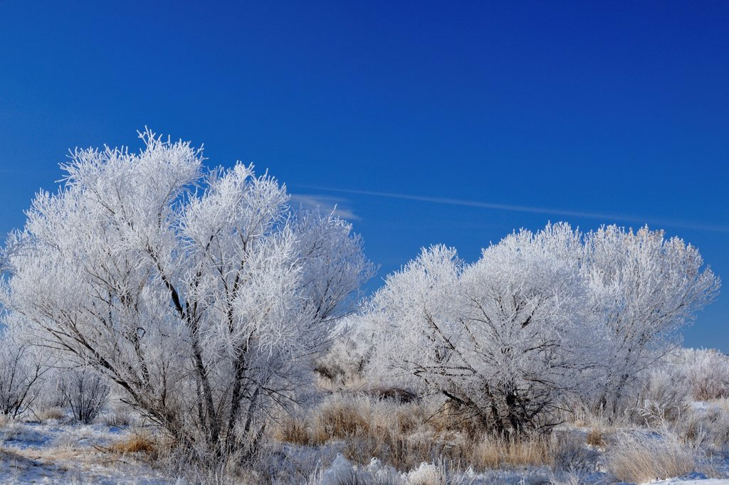 Stock Photo: 1566-1014143 Hoarfrost on cottonwood trees, Bosque del Apache NWR, New Mexico, USA