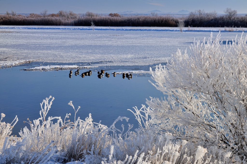 Stock Photo: 1566-1014151 Winter frosts around a duck pond, Bosque del Apache NWR, New Mexico, USA