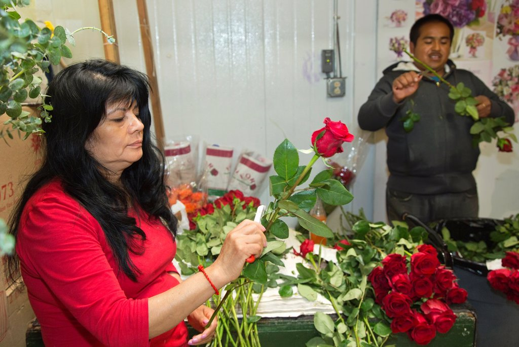 Stock Photo: 1566-1014415 Los Angeles - A woman in Los Angeles´ flower market trims long-stemmed roses to remove leaves and thorns  Most flowers sold in the market are imported  These roses come from Ecuador