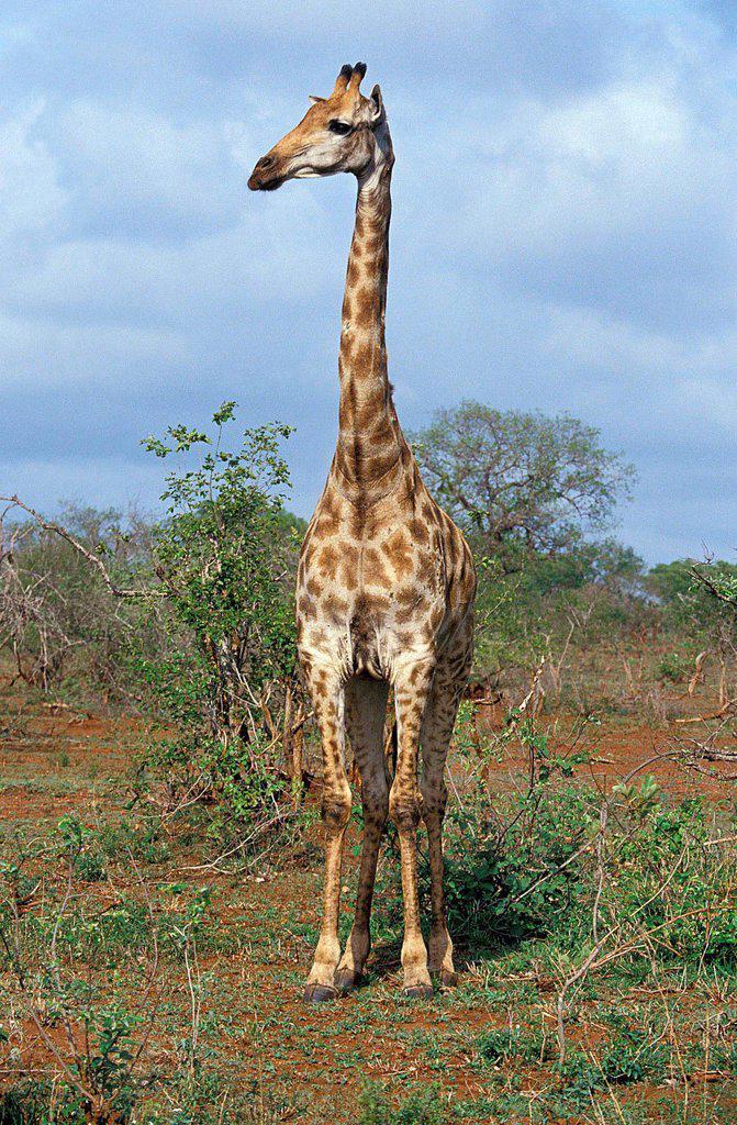Stock Photo: 1566-1016426 Masai Giraffe, giraffa camelopardalis tippelskirchi, Masai Mara Park in Kenya