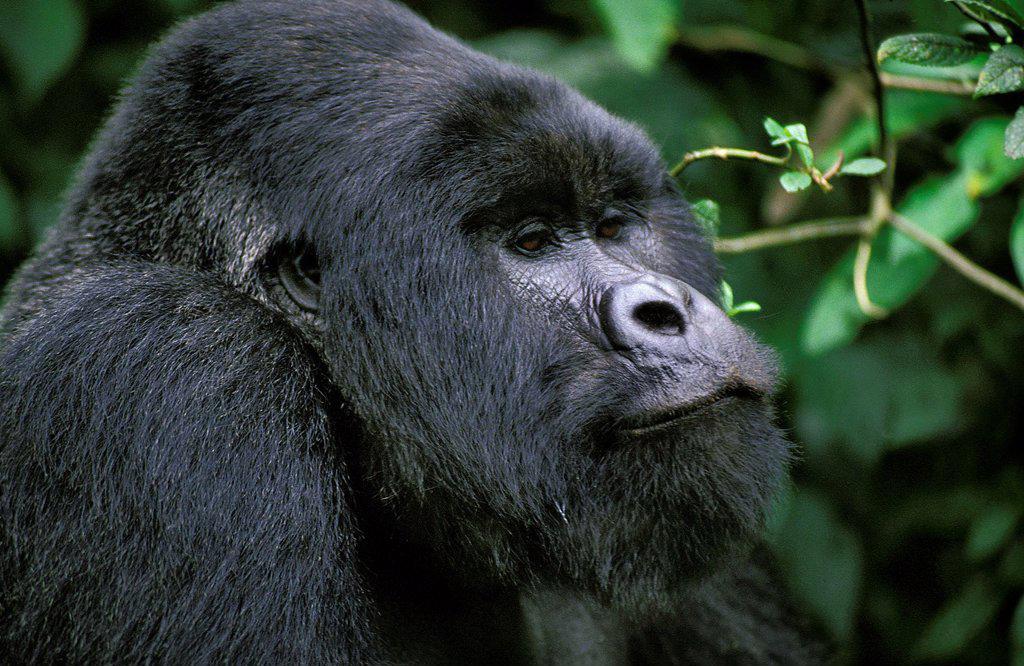 Mountain Gorilla, gorilla gorilla beringei, Portrait of Male, Virunga Park in Rwanda : Stock Photo