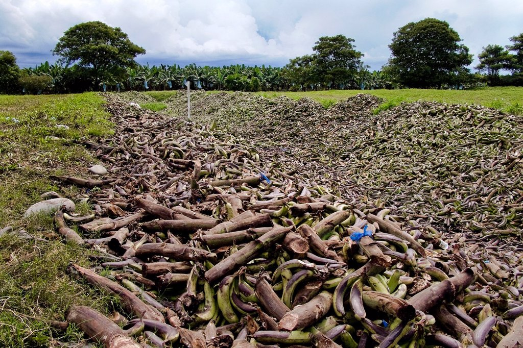 Bananas thrown away behind the banana plantation Changuinola, Panama, 17 September 2004  It has been estimated that about twenty percent of the whole banana harvest is thrown away with no use because the fruit does not meet the company standards to be sol. Bananas thrown away behind the banana plantation Changuinola, Panama, 17 September 2004  It has been estimated that about twenty percent of the whole banana harvest is thrown away with no use because the fruit does not meet the company standar : Stock Photo