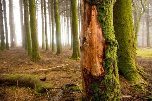Misty woods  Dartmoor : Stock Photo