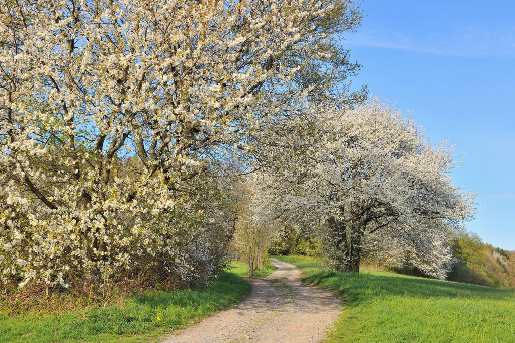 Field Path with blossoming Cherry Trees in Spring, Lindenfels, Hesse, Germany : Stock Photo