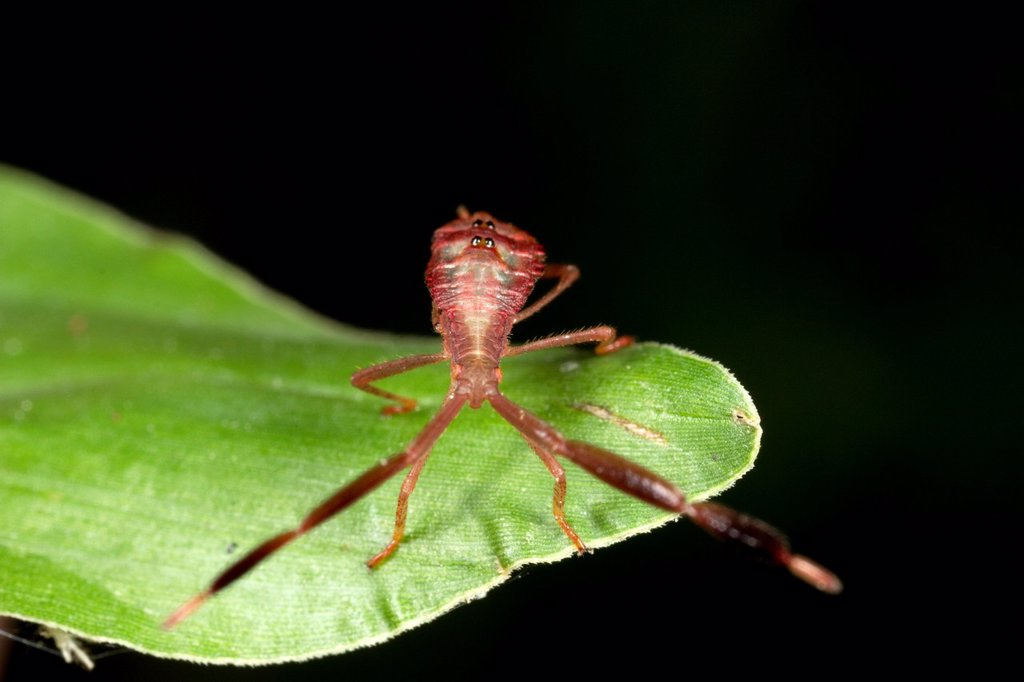 Stock Photo: 1566-1020553 Assassin bug. Image taken at Kampung Skudup, Sarawak, Malaysia.