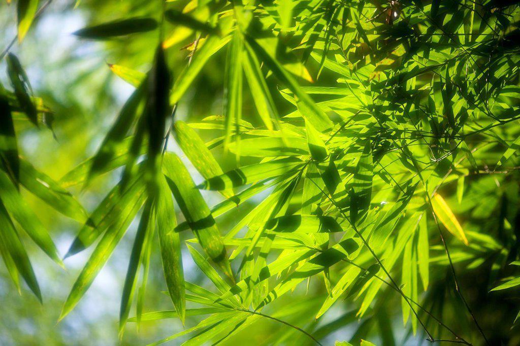 Bamboo Garden, Semengoh Wildlife Centre, Sarawak, Malaysia. : Stock Photo