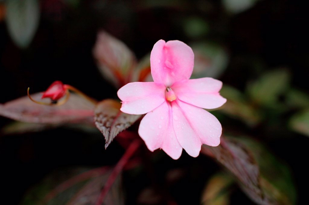 Stock Photo: 1566-1021765 Pink Color Tropical flowers, asia