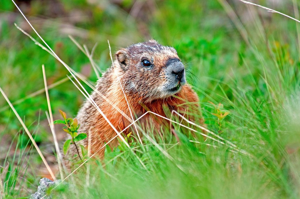 Stock Photo: 1566-1022329 Yellowstone, Yellow Bellied Marmot at Wraith Falls below the Blacktail Deer Plateau at Yellowstone National Park in northern Wyoming