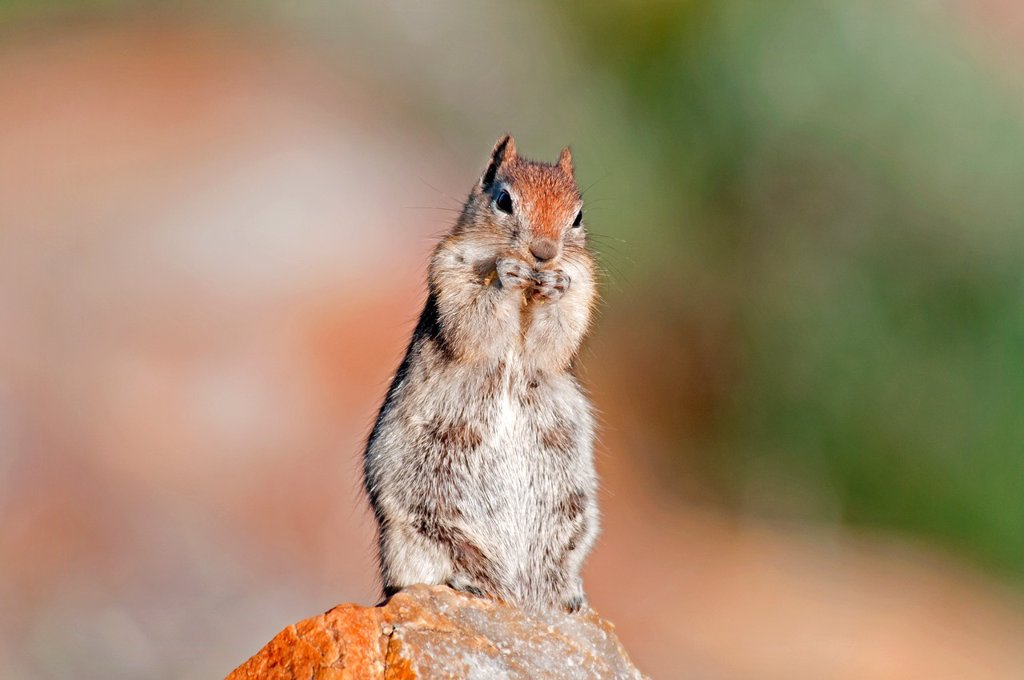 Stock Photo: 1566-1022344 Albion Mountains, Golden Mantled Ground Squirrel on Mount Harrison in the Albion Mountains above the city of Albion in southern Idaho