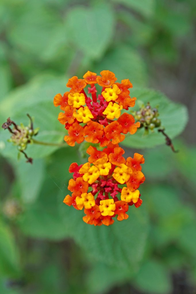Lantana camara, Feston Rose, Common Lantana : Stock Photo