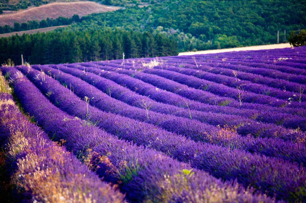 Stock Photo: 1566-1024923 Blooming field of Lavender Lavandula angustifolia near of St-Christol, Vaucluse, Provence-Alpes-Cote d´Azur, Southern France, France, Europe, PublicGround