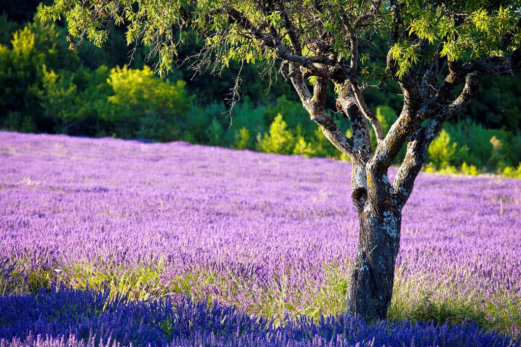 Stock Photo: 1566-1025059 Blooming field of Lavender Lavandula angustifolia around Sault and Aurel, in the Chemin des Lavandes, Provence-Alpes-Cote d´Azur, Southern France, France, Europe, PublicGround