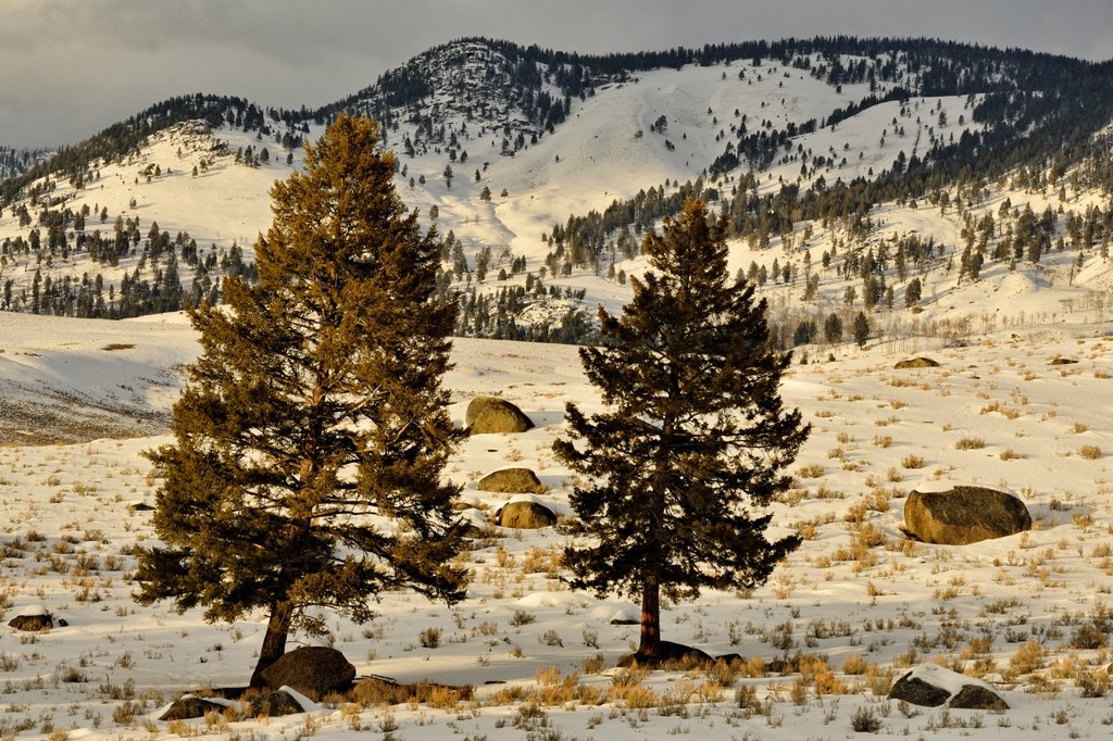 Stock Photo: 1566-1028187 Blacktail Deer Plateau with pines and glacial erratics, Yellowstone NP, Wyoming, USA