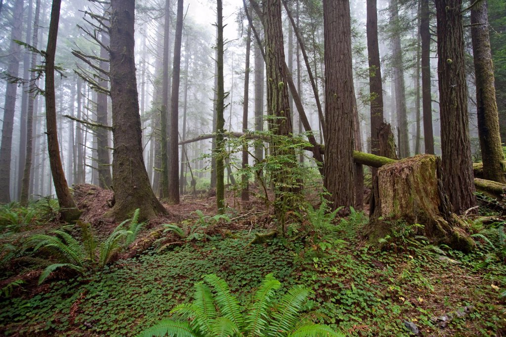 Stock Photo: 1566-1028715 California Redwood Groves