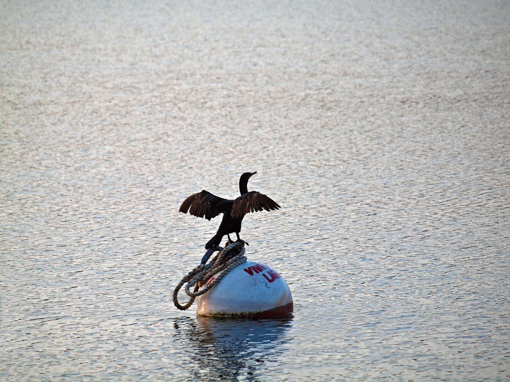 A cormorant spreads its wings and is perched on a mooring buoy in Lagoon Pond, an Atlantic Ocean inlet at Martha´s Vineyard, Massachusetts : Stock Photo