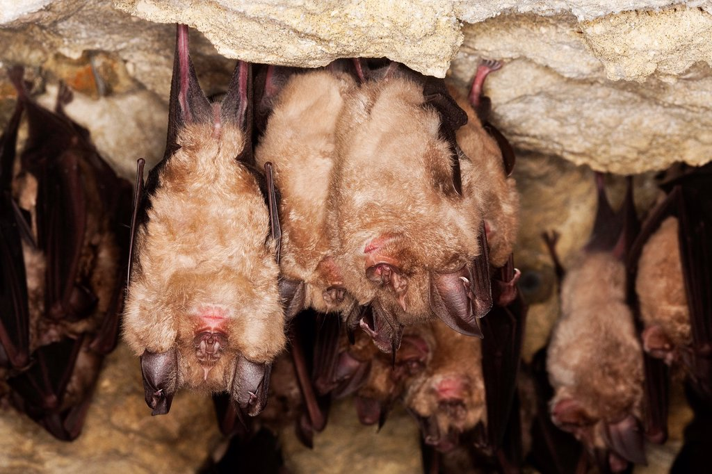 Stock Photo: 1566-1028865 Greater Horseshoe Bat, rhinolophus ferrumequinum, Colony Hibernating in a Cave, Normandy