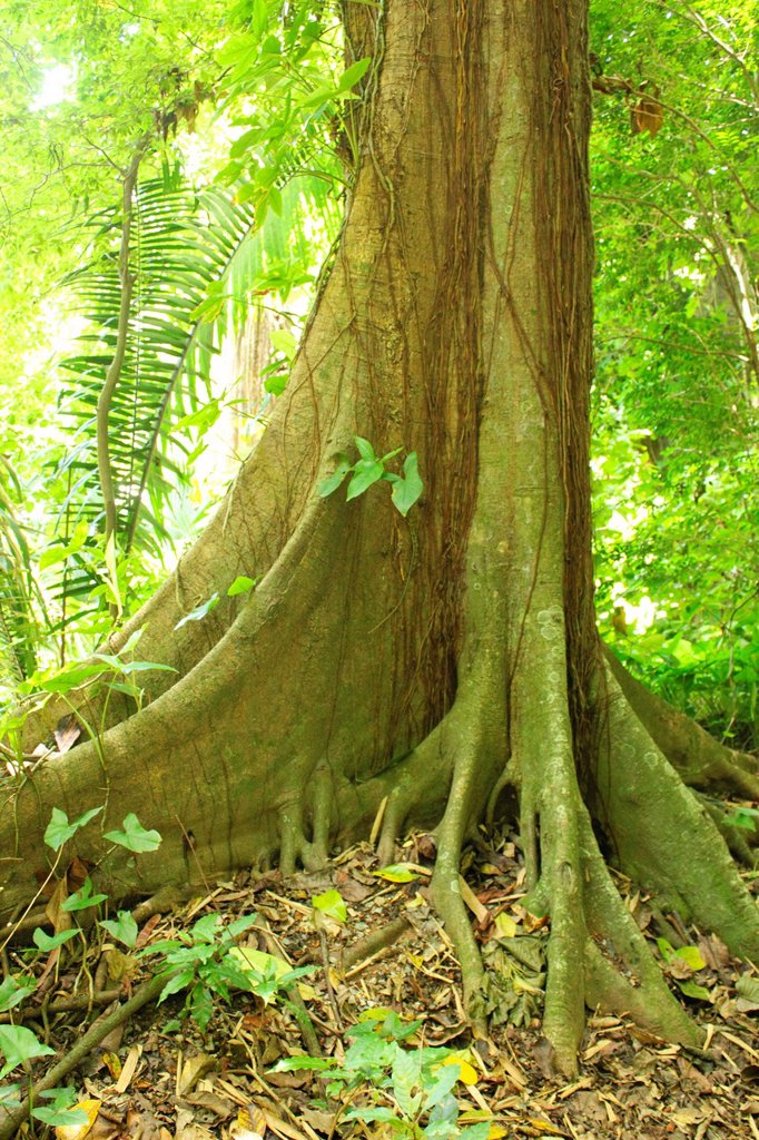 Stock Photo: 1566-1029502 Tree, Jardin Botanico de Caracas, Venezuela