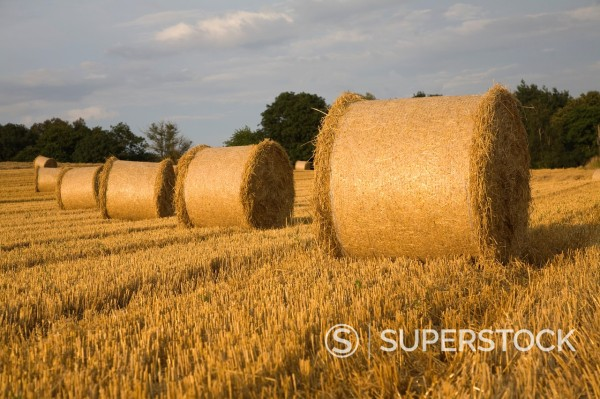 Straw bales in harvested field, Shottisham, Suffolk, England : Stock Photo