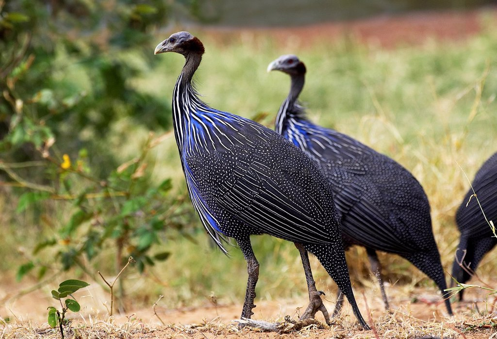 Stock Photo: 1566-1032023 Vulturine Guineafowl, acryllium vulturinum, Samburu Park in Kenya