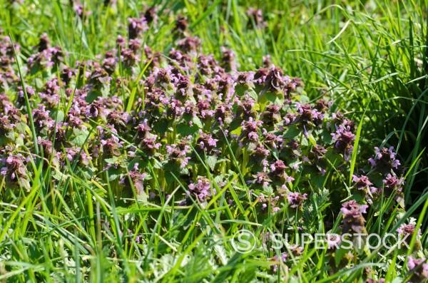 Stock Photo: 1566-1034244 Red dead nettle Lamium purpureum