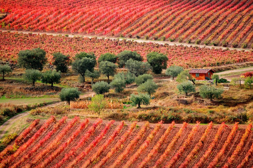 Stock Photo: 1566-1034507 Vines and olive trees, Jubera valley, Rioja wine region, Spain, Europe