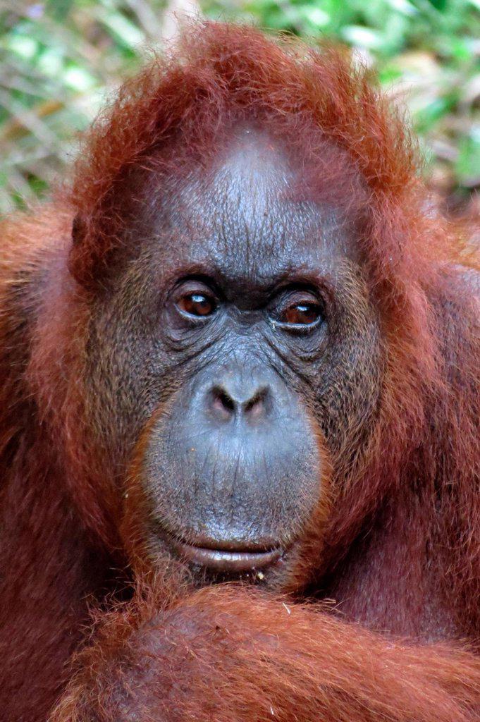 Stock Photo: 1566-1034945 Orangutan. Semengoh Wildlife Centre, Sarawak, Malaysia.