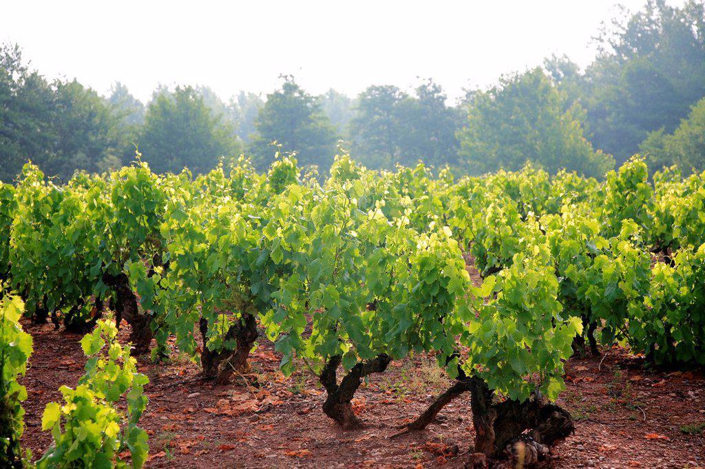 Stock Photo: 1566-1035764 Summer vines at Aleson, Santiago way, La Rioja, Spain, Europe