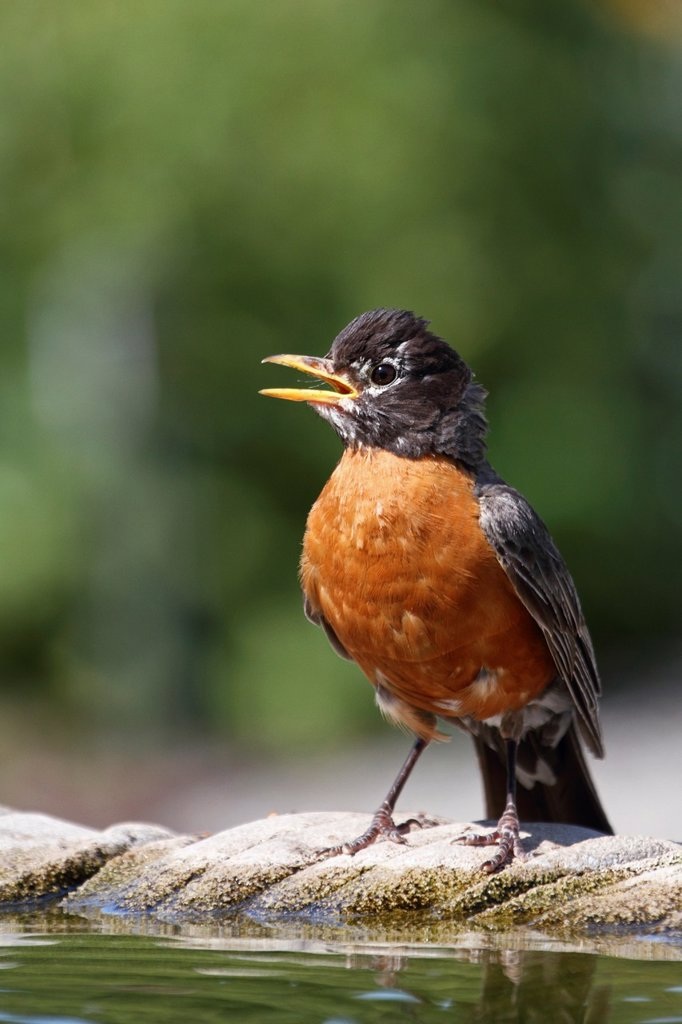 Stock Photo: 1566-1035910 An American Robin, Turdus migratorius, standing and calling at a birdbath  Richard DeKorte Park, Lyndhurst, New Jersey, USA
