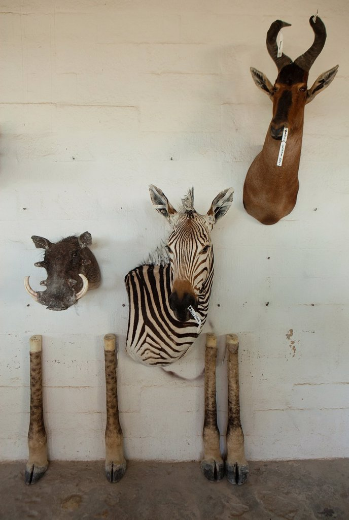 Stock Photo: 1566-1038005 taxidermy  Hunters from US and Germany shoot wildlife and stuff it as a trophy in a taxidermy workshop in Namibia