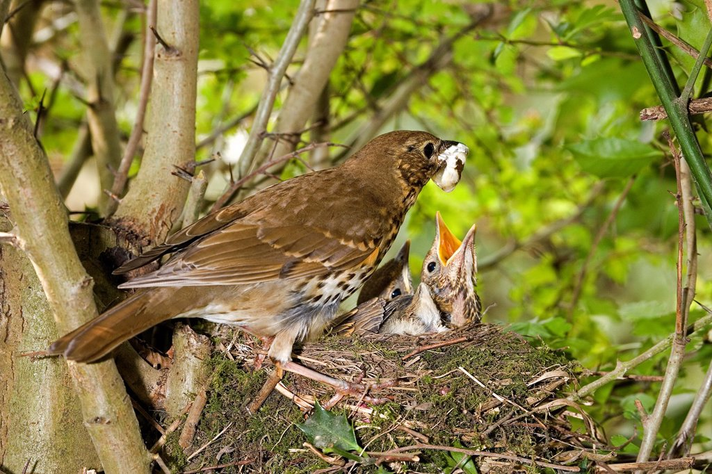 Song Thrush, turdus philomelos, Adult removing Fecal Sac from Nest, Normandy : Stock Photo