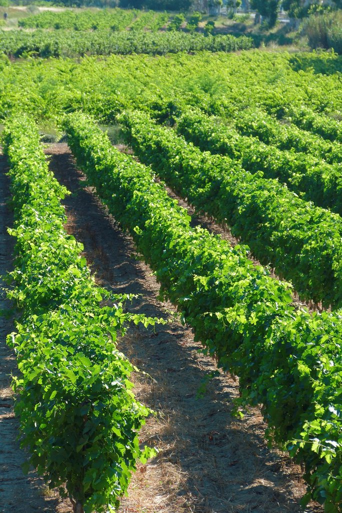 Stock Photo: 1566-1038766 Vineyards in the Herault valley, France