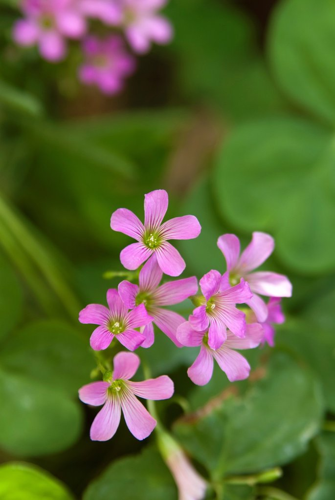 Stock Photo: 1566-1039210 Oxalis corymbosa in bloom