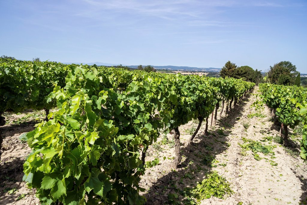 Stock Photo: 1566-1040141 Vineyard in vicinity of Carcassonne, Languedoc, France