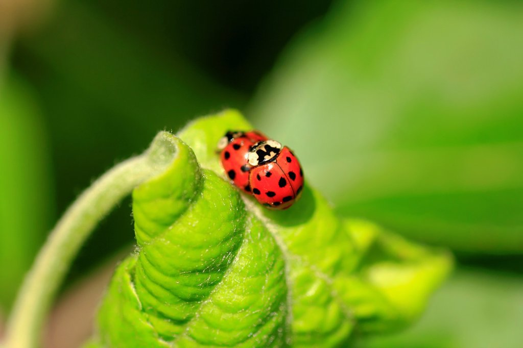 Stock Photo: 1566-1040371 The ladybug life cycle starts with mom and dad ladybug mating  The ladybugs pictured are mating  Ladybugs reproduce sexually  Each species of ladybug has its own pheromones for attracting a mate  When they find each other, the male grips the female from b. The ladybug life cycle starts with mom and dad ladybug mating  The ladybugs pictured are mating  Ladybugs reproduce sexually  Each species of ladybug has its own pheromones for attracting a mate  When they find each other, the male grips the f