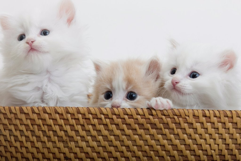 Stock Photo: 1566-1040594 GROUP OF THREE 6 WEEK OLD LONG HAIRED WHITE GINGER KITTENS IN BASKET